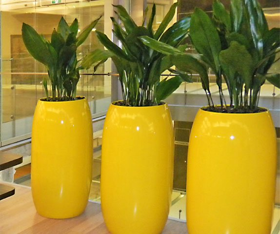 Aspidistra, Indoor Plant Hire, Green Design Indoor Plant Hire, Office Plant Hire, Office Plants