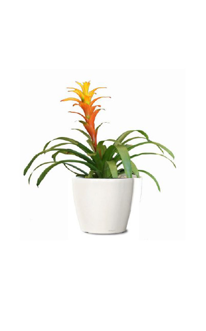 BROMELIAD – SAMPLE 1