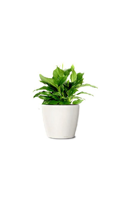 SPATHIPHYLLUM – PEACE LILLY