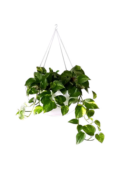HANGING BASKET WITH IVIES