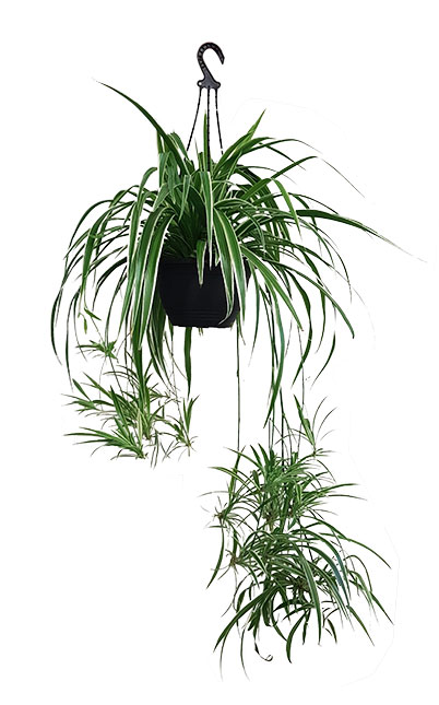HANDING BASKET WITH SPIDER PLANT
