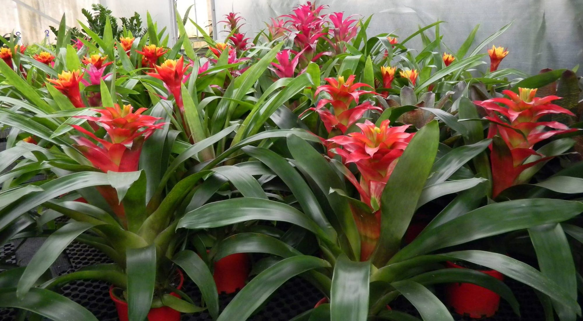 Green Design Indoor Plant Hire Bromeliads