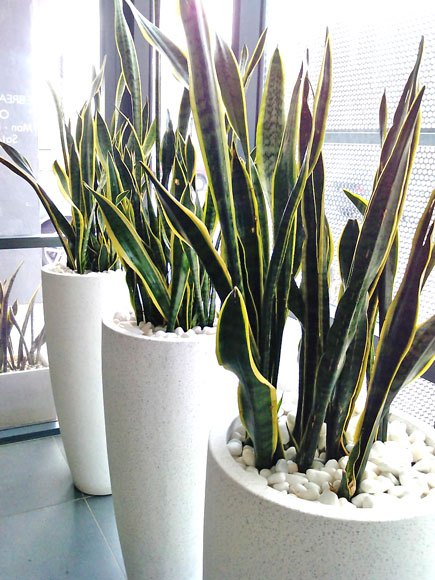 Sanasvieria, Indoor Plant Hire, Office Plant Hire, Office Plants, Green Design Indoor Plant Hire