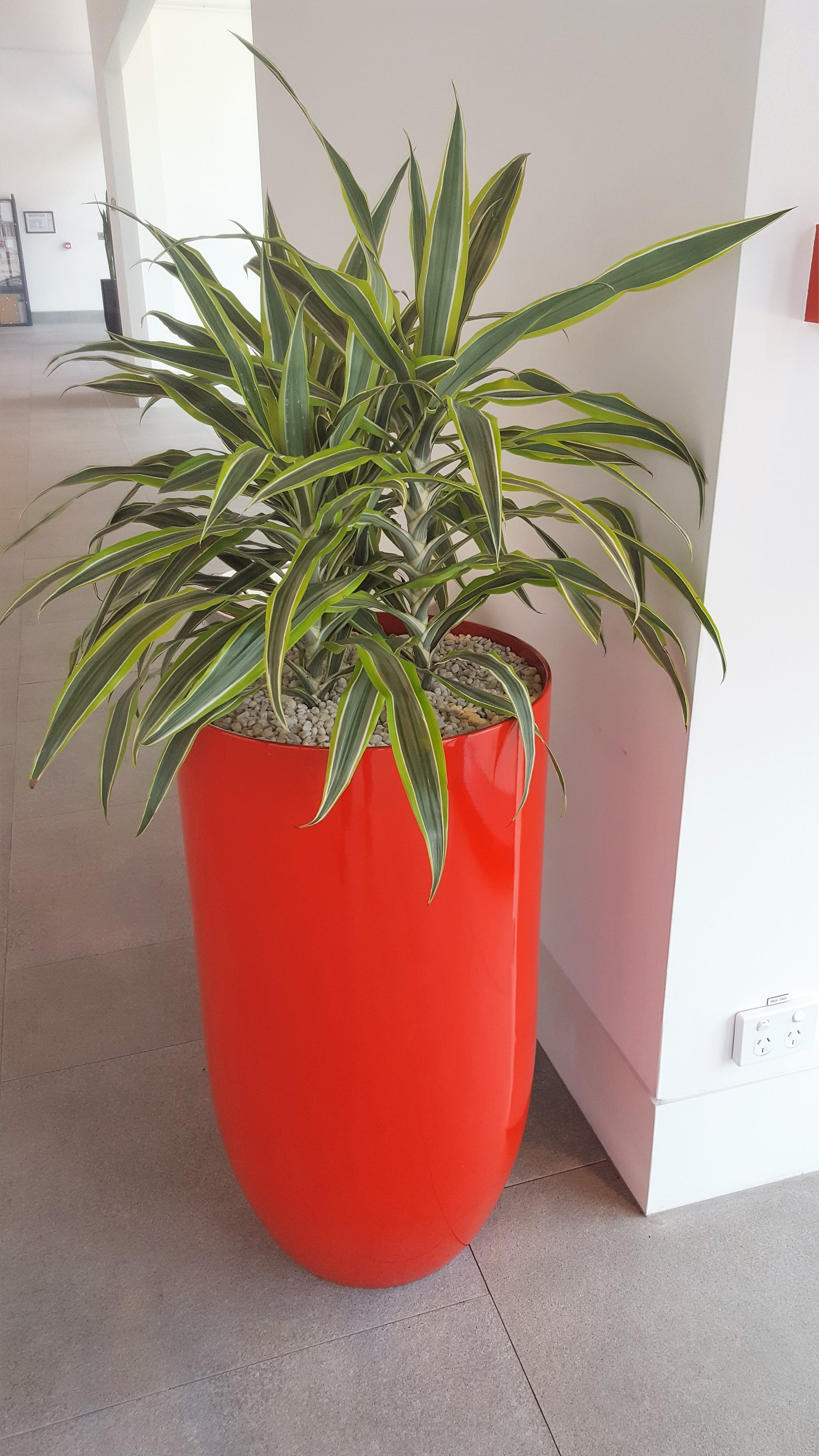 Deremensis, Indoor Plant Hire, Office Plant Hire, Office Plants, Green Design Indoor Plant Hire