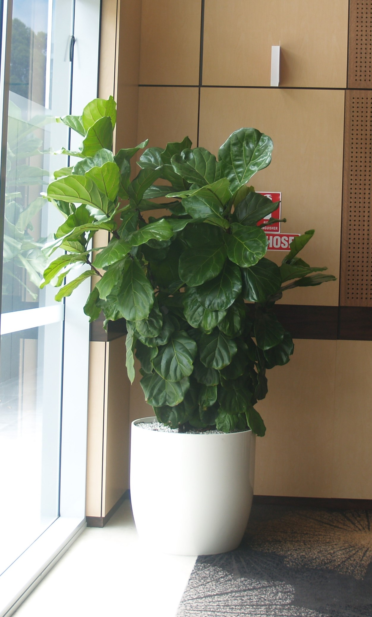 Ficus Lyrata, indoor plant hire, office plant hire, ofice plants, good light plants
